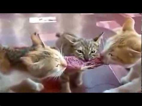 Image of: Most Viewed Best Funny Animal Videos Ever Funny Cat Videos Ideas De Decoración De Baños Terrazas Jardines Youtube Funniest Cat Videos Ever Descargarimagenescom